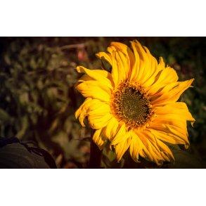 Blomsterfrø